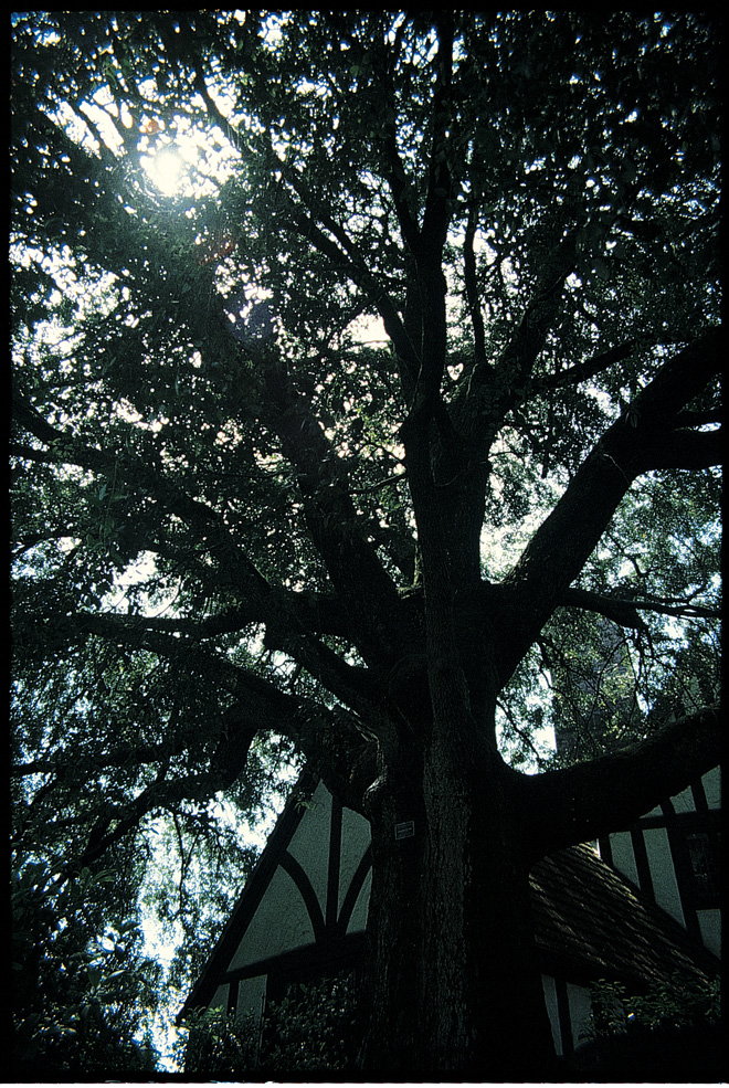 The canopy of this canyon live oak (Quercus chrysolepis) planted circa 1920 at the Autzen home in northeast Portland now has a nearly 80-foot spread.  Photo: Sean Hogan