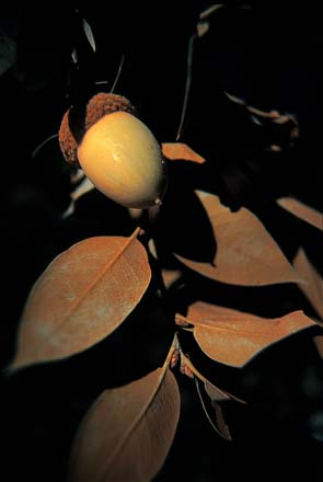 A golden acorn and leaves of the canyon live oak (Quercus chrysolepis).  Photo: Sean Hogan