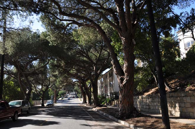 Italian stone pines (Pinus pinea) create a pleasing and sheltering canopy on this street in Santa Barbara.  Photo: Jeff Reimer