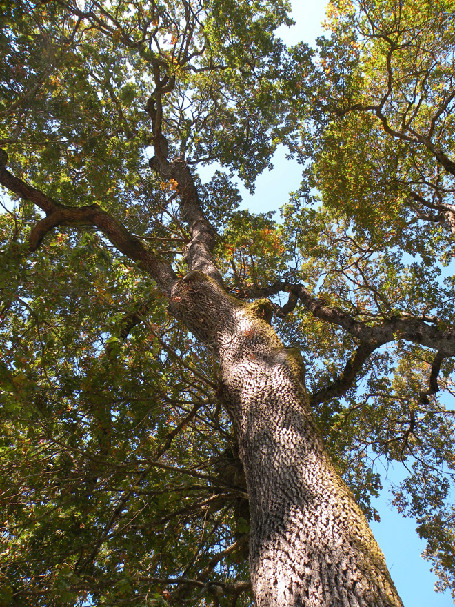 Native from British Columbia to northern California, Oregon white oak (Quercus garryana) is a long-lived tree that grows faster than given credit for.  Photo: Jim Gersbach