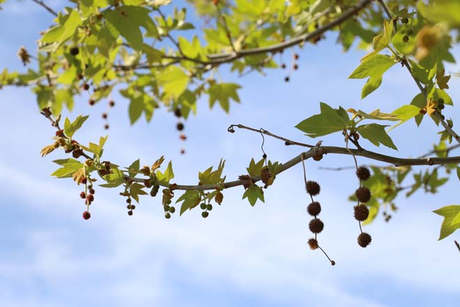 California sycamore (Platanus racemosa) with fruit. Photo: Jane Edberg