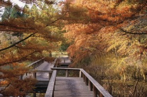 Bald cypress (Taxodium distichum) is a deciduous conifer whose leaves turn a rusty-gold in fall. Bright green feathery soft needles emerge in spring.  Photo: Great Plant Picks