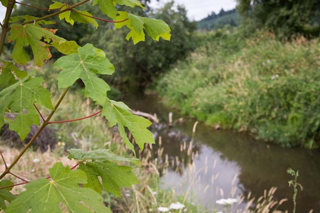 Bigleaf maple (Acer macrophyllum), a Tree for All planting along the banks of the Tualatin River.  Photo: courtesy of Clean Water Services