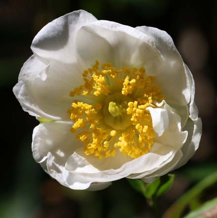 A glistening white bloom of the California native bush anemone (Carpenteria californica). Photo: Jane Edberg