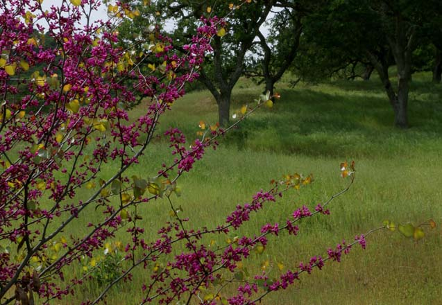 Magenta spring blooms on Western redbud (Cercis occidentalis).  Photo: Jane Edberg
