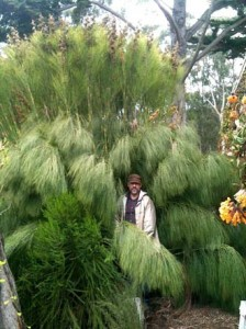 The author, Martin Grantham, pictured with Cannomois grandis, the largest of all restios, growing to 12 feet tall in suitable soils in California. Photo: Ken Gray