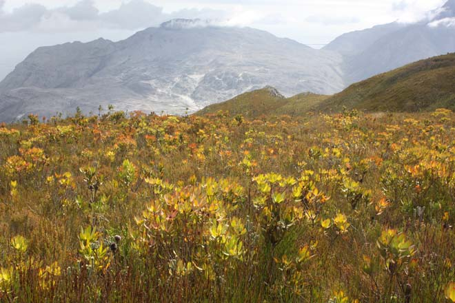 In the Kolgelberg Nature Reserve in South Africa, restios, protea, and ericaceous plants flourish in the fire-determined plant community known as fynbos.  Photo: Martin Grantham