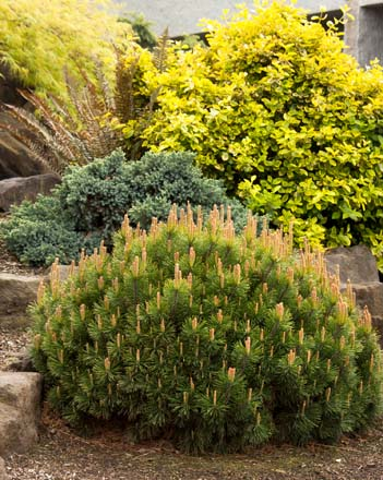 Dwarf mugo pine (Pinus mugo 'Pumilio').  Photo: courtesy of Monrovia Growers