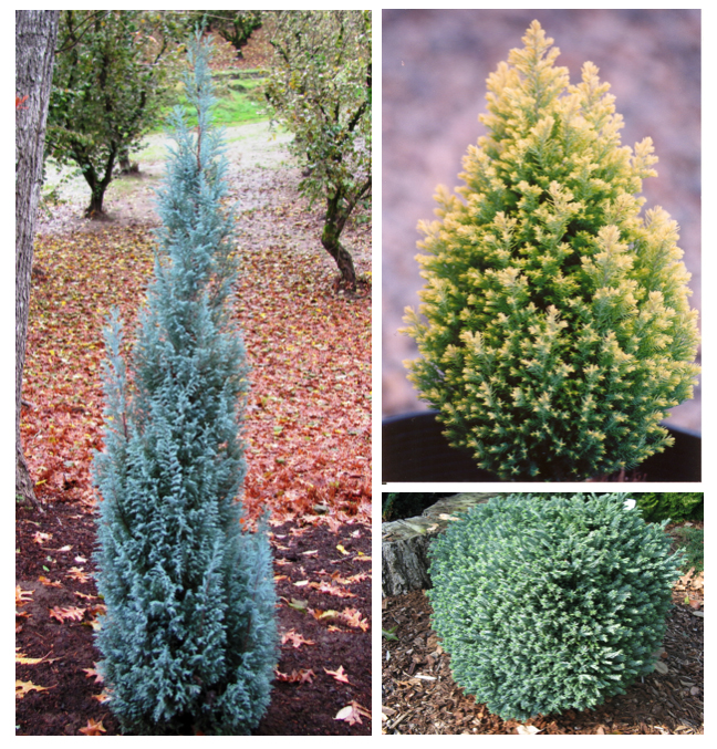 Above left: Chamaecyparis lawsoniana 'Blue Surprise'; Top right: C. lawsoniana 'Treasure Island'; Bottom right: C. lawsoniana 'Rimpelaar'  Photos: courtesy of Youngblood Nursery