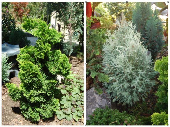 Left: Chamaecyparis obtusa 'Nana Lutea'; Right: C. lawsoniana 'Barry's Silver'  Photos: Earl Nickel