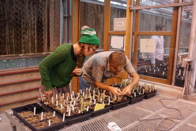 Professor Bakker and student Loretta Fisher examine Castilleja hybrids in the UWBG greenhouses. Photo: Daniel Mount