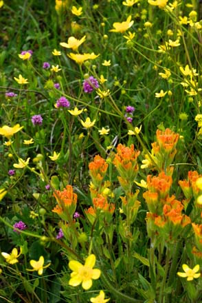 Harsh paintbrush (Castilleja hispida), Western buttercup (Ranunculus occidentalis), and sea blush (Plectritis congesta) growing in test plots at the Glacial Heritage Preserve. Photo: Daniel Mount