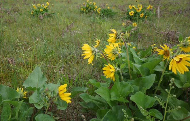 Puget balsam root (Balsamorhiza deltoidea) is one species that survived in the degraded prairies of GHP. It can take up to seven years to bloom from seed and, though long-lived, it is slow to re-establish. Photo: Daniel Mount