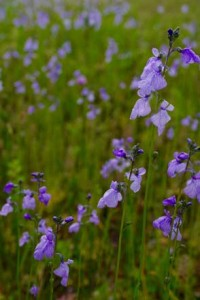 Blue toadflax (Nuttallanthus canadensis). Photo: Daniel Mount