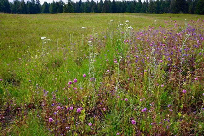 After a burn, a reseeded Northwest prairie returns in splendor. Photo: Daniel Mount