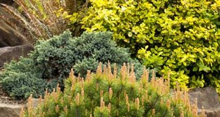 online-conifer-feature