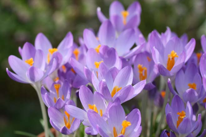 Crocus tommasinianus 'Barr's Purple' splashes the garden with color and offers early season sustenance for bees.  Photo: Richie Steffen, Great Plant Picks