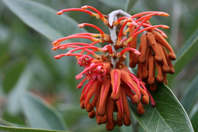 Royal grevillea (Grevillea victoriae) produces its beak-like red-orange buds from fall through winter, providing nourishment for hummingbirds during an otherwise quiet bloom time in the garden. Photo: Richie Steffen, Great Plant Picks