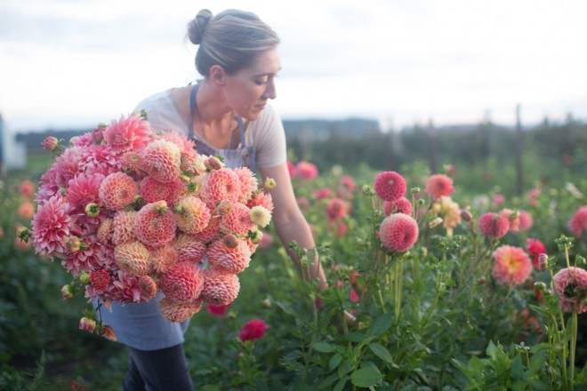 Harvesting summer dahlias at Floret Family Farm. Photo: Chris Benzakein