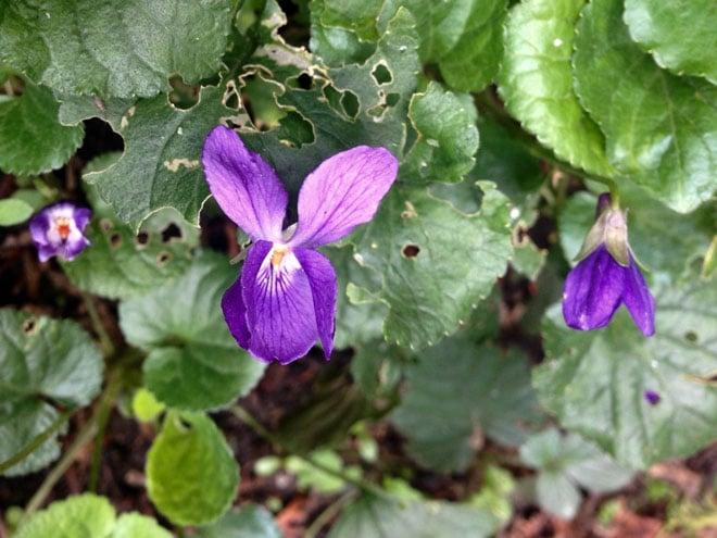 Viola odorata in all its weedy glory. Photo: Lorene Edwards Forkner