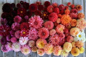 A profusion of summer dahlias. Photo: Chris Benzakein