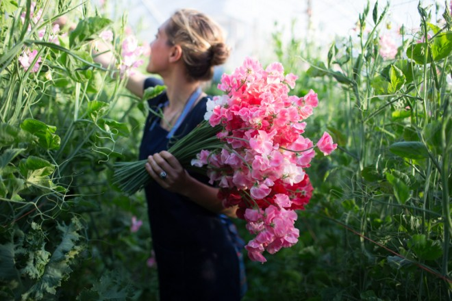 Long stemmed, fragrant sweet peas launched Floret Flower Farm. Photo: Chris Benzakein