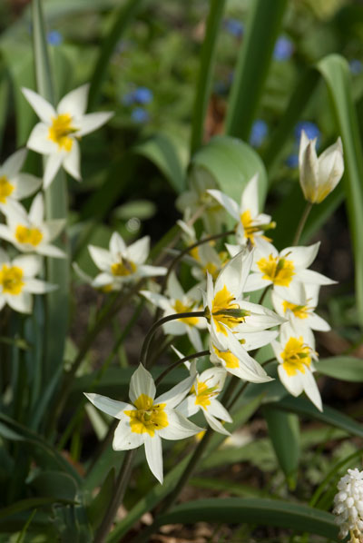 With narrow, gray-green foliage and up to 12 star-shaped flowering stems per bulb, Tulipa turkestanica is cold hardy but doesn't require winter chill to bloom.  Photo: Netherland Flower Bulb Information Center