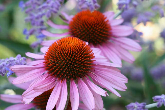 Echinacea purpurea 'Bravado' is a reliable coneflower cultivar, and a favorite of gardeners and butterflies alike.  Photo: Richie Steffen, Great Plant Picks