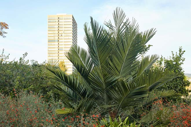 A young Jubaea chilensis, the monumental Chilean wine palm, will someday join the Oakland skyline. Photo: Caitlin Atkinson
