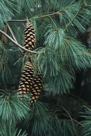 The Himalayan white pine (Pinus wallichiana) has long, silky-soft needles and impressive cones that grow to nearly 12 inches in length. Photo: Richie Steffen, Great Plant Picks