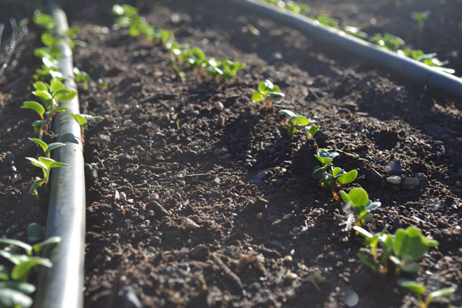 Efficient drip irrigation targets roots on tiny seedlings and minimizes water loss to evaporation. 