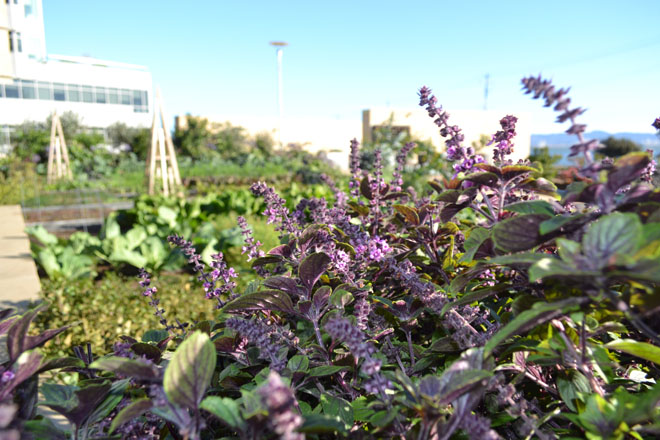 African blue basil is one of many delicate herbs—a high value crop—produced on the rooftop farm. Photo: courtesy of Farmscape