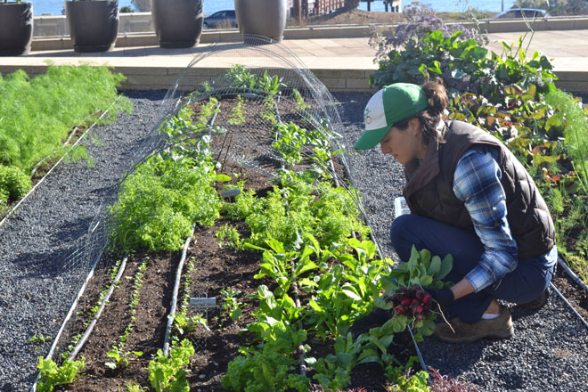 Tending the plants and harvesting takes place daily. Photo: courtesy of Farmscape