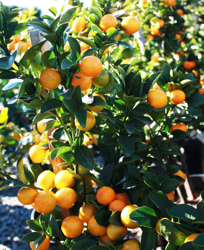 'Fukushu' kumquat. Photo: courtesy of Four Winds Growers