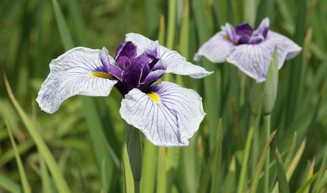 Japanese iris (Iris ensata) Photo: Wikimedia commons