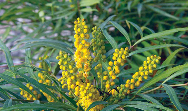 Mahonia 'Soft Caress' Photo: Sunset Western Garden Collection