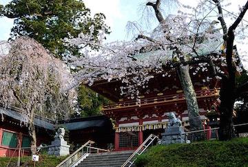 Shrine w cherry blossoms Matsushima