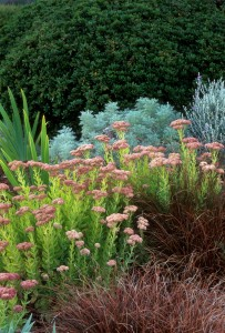 Hylotelephium spectabile 'Autumn Joy' (formerly Sedum spectabile 'Autumn Joy') flowering with Carex secta and artemisia in a summer-dry garden border.  Photo: Saxon Holt