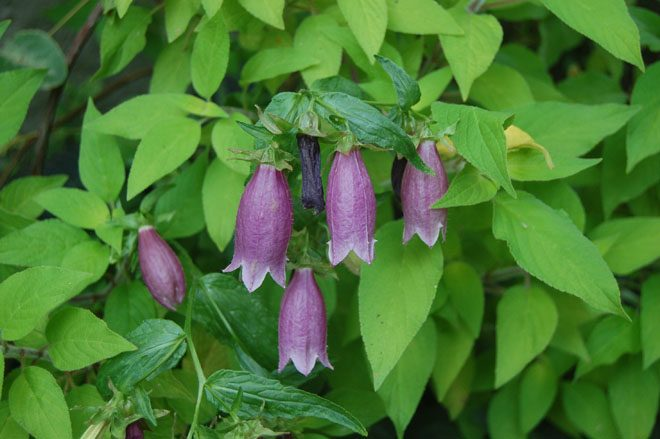 Spotted bellflower (Campanula punctata) from Asia produces multiple flowering spires from plants with a spreading habit.  Photo: Earl Nickel
