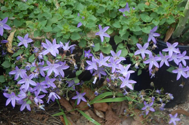 Campanula poscharskyana 'Blue Waterfall' is a low-growing perennial and an ideal choice for cascading over a low 