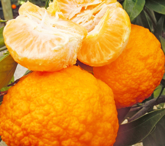 'Gold Nugget' mandarin is seedless, richly flavored, and easy to peel. Photo: courtesy of Four Winds Growers