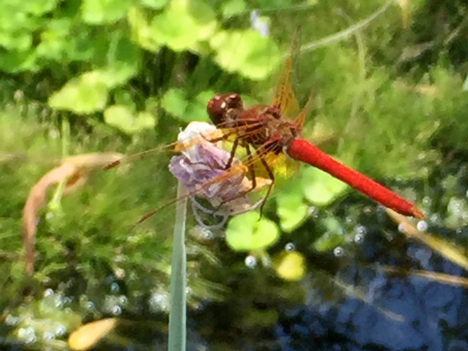 You will certainly see some type of dragonfly visit your water feature where they will lay their eggs. Dragonflies are voracious carnivores during the water phase of their life. Photo: Sabrina Howell