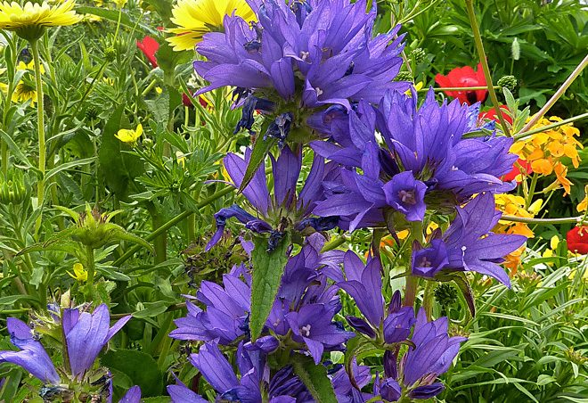 Clustered bellflower (Campanula glomerata) Photo: courtesy of Annie's Annuals