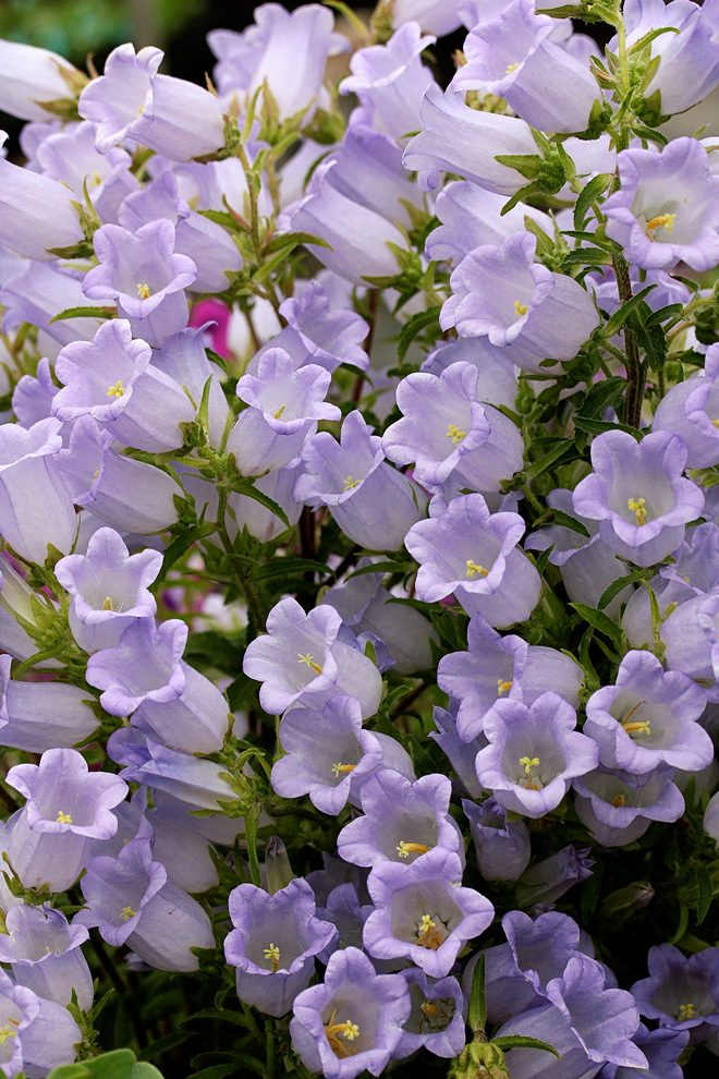 Icy lavender-blue flowers crowd the stems of Campanula incurva on 2-year-old plants. Monocarpic, the plant dies after 