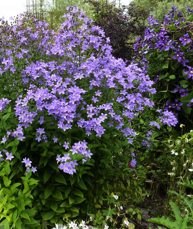 Pacific horticulture society bellflowers milky bellflower campanula lactiflora is a statuesque perennial growing to nearly five feet tall mightylinksfo