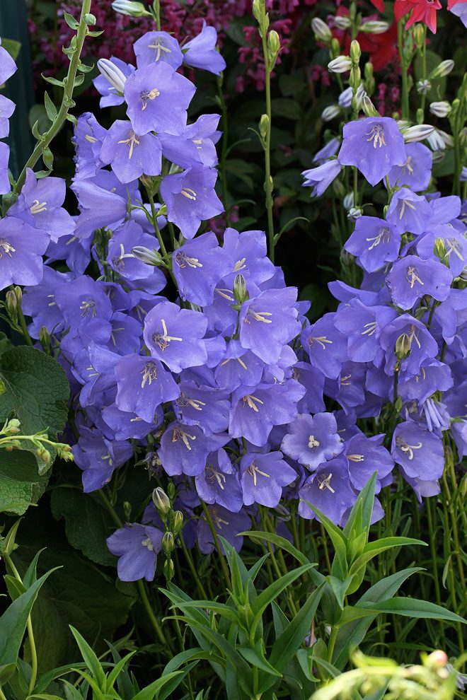 Pacific horticulture society bellflowers the vertical stems of peach leaved bellflower campanula persicifolia are covered in bell mightylinksfo