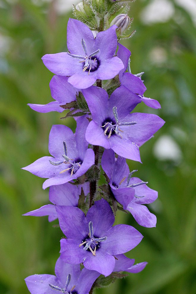 Planted in the garden, Spanish bellflower (Campanula primulifolia) establishes quickly and blooms from late spring to mid summer. Photo: courtesy of Annie's Annuals.