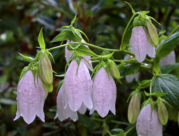 Softly speckled pink bells on Korean bellflower (Campanula takesimana).  Photo: courtesy of Annie's Annuals