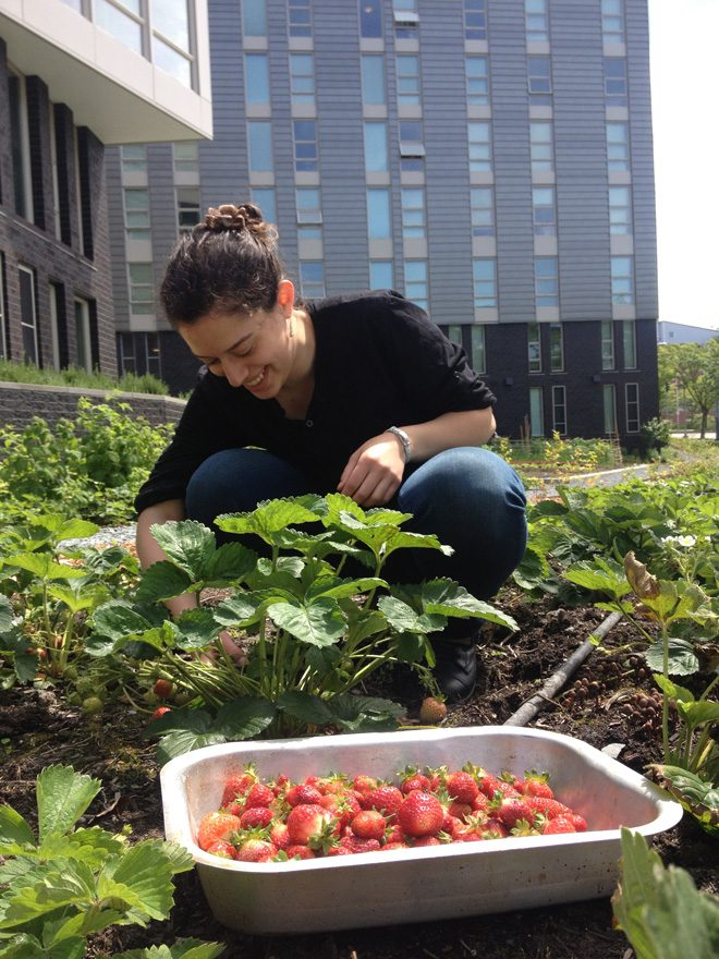 Student Tamar Yanay picks 'Senga Gigana' strawberries on the Mercer Court student housing growing site.  Photo: Sarah Geurkink
