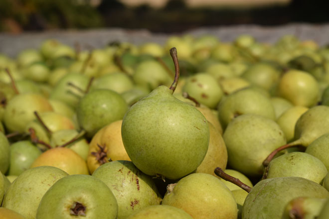 Perry pears.  Photo: Galen Williams, Bull Run Cider
